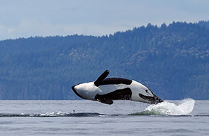 Whale Watching Tours in Puget Sound